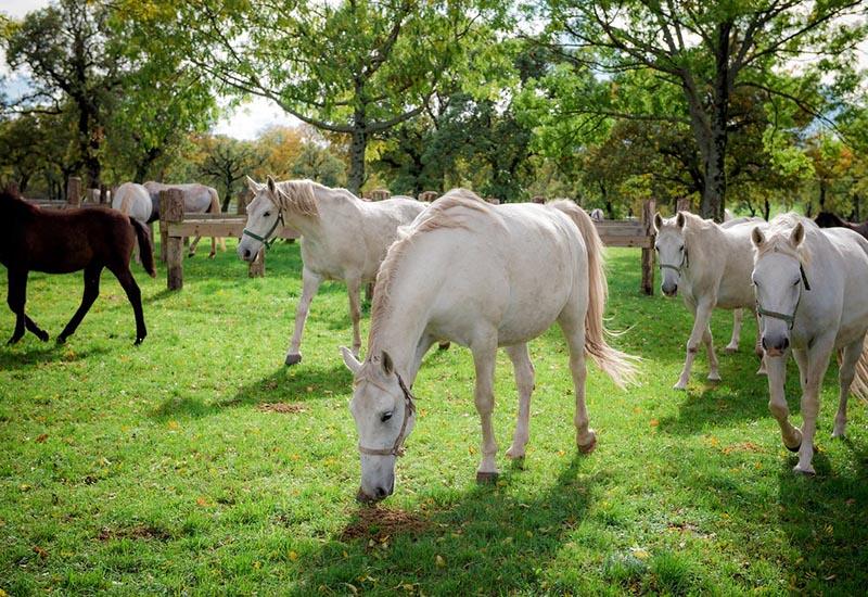 Lipizzaner horses originate from Slovenia